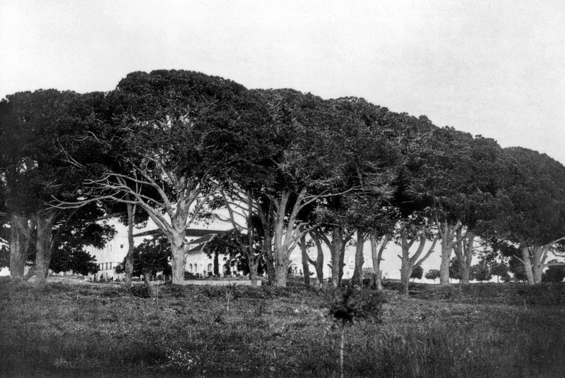 The pines of Bahjí on the land of the Jamal brothers, site of the dinner which